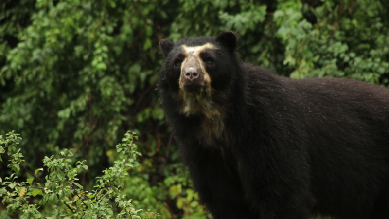 Spectaculed bear in the forest