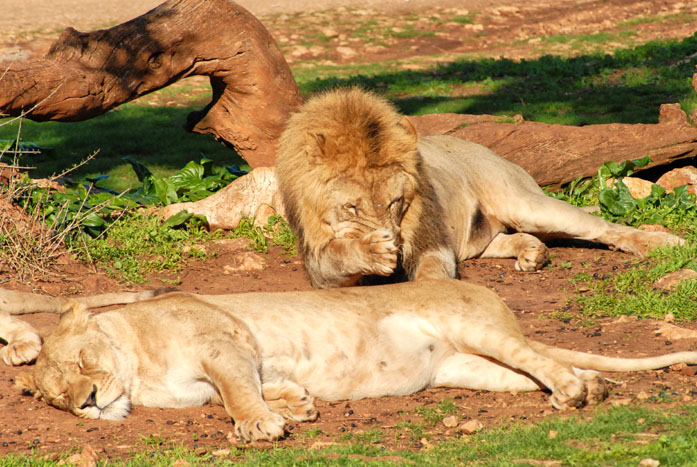 Group of lions resting on the grass